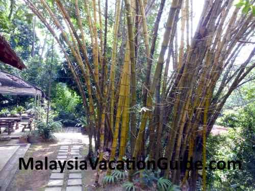 Kuala Lumpur Forest Bamboo Trees.