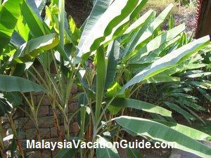 Banana Plant Warisan Pertanian