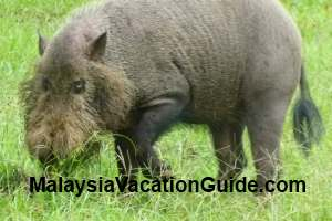 Bako National Park Bearded Pig
