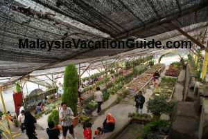 Strawberry Farm Cameron Highlands