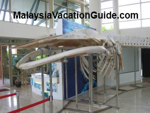 Bryde Whale Skeleton
