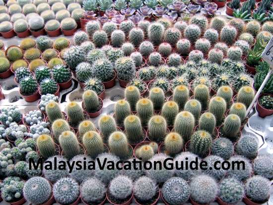 Cactus in abundance at Cameron Highlands