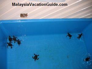 Cherating Turtle Sanctuary Hatchlings Programme