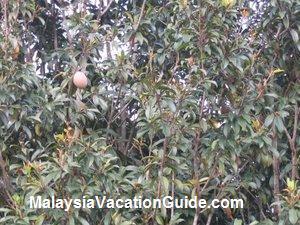 Ciku Trees Warisan Pertanian Putrajaya