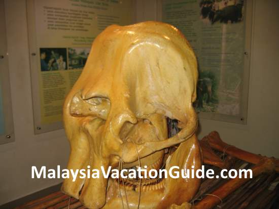 Elephant bones at the exhibits in Kuala Gandah Elephant Sanctuary