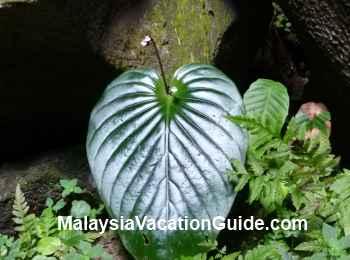 Wild Flora Sarawak Cave