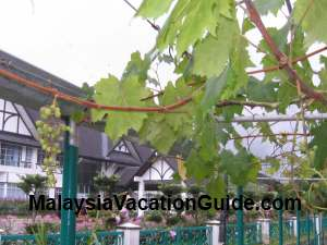 Grapevine Mardi Cameron Highlands