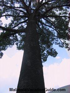 Bukit Nanas Jelutong Tree