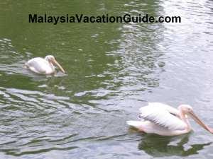Johor Zoo Pelicans