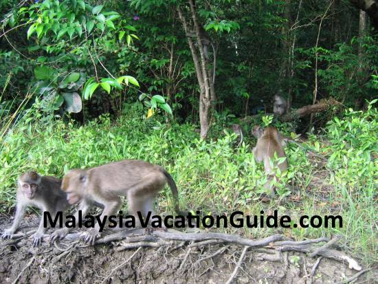 Macaque monkeys at the river bank in Sabah