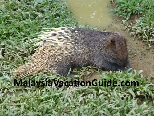 Porcupine at Paya Indah Wetlands