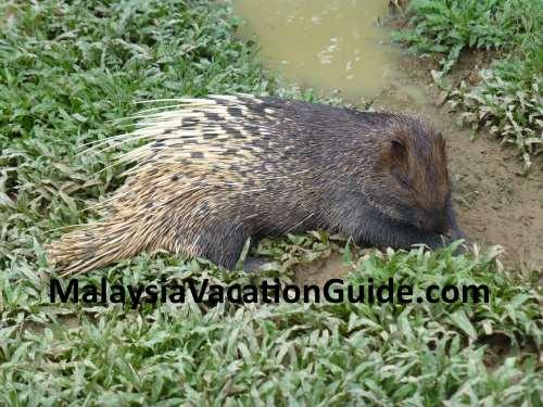 Porcupine at Paya Indah Wetlands