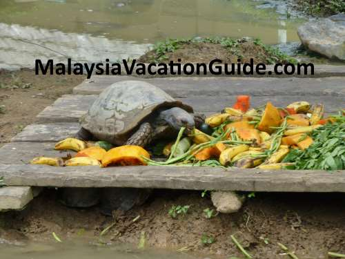 Tortoise eating its lunch