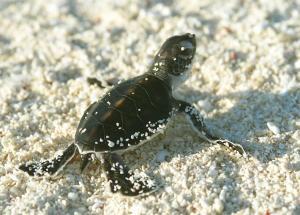 Pulau Perhentian Turtle Hatchling