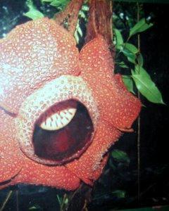Rafflesia Flower