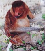 Sabah Proboscis Monkey