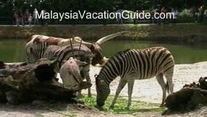 Taiping Zoo Zebra
