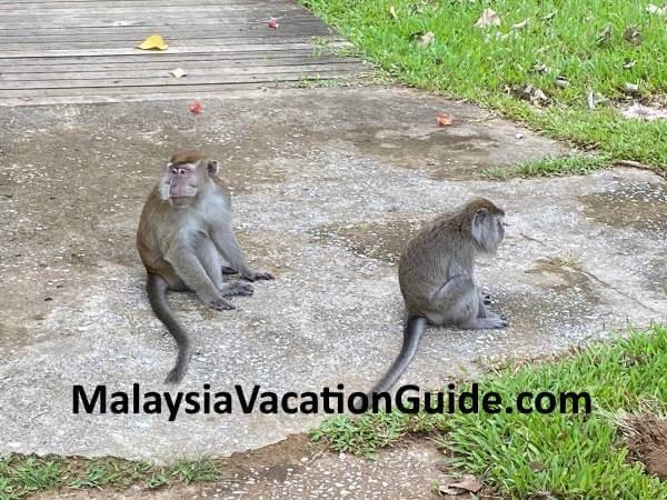 Monkeys at Taman Negara Bako