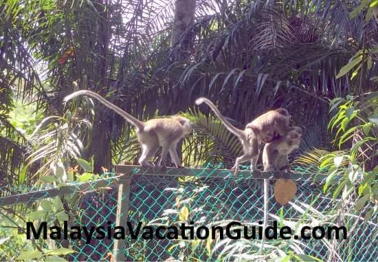 Taman Tugu monkeys