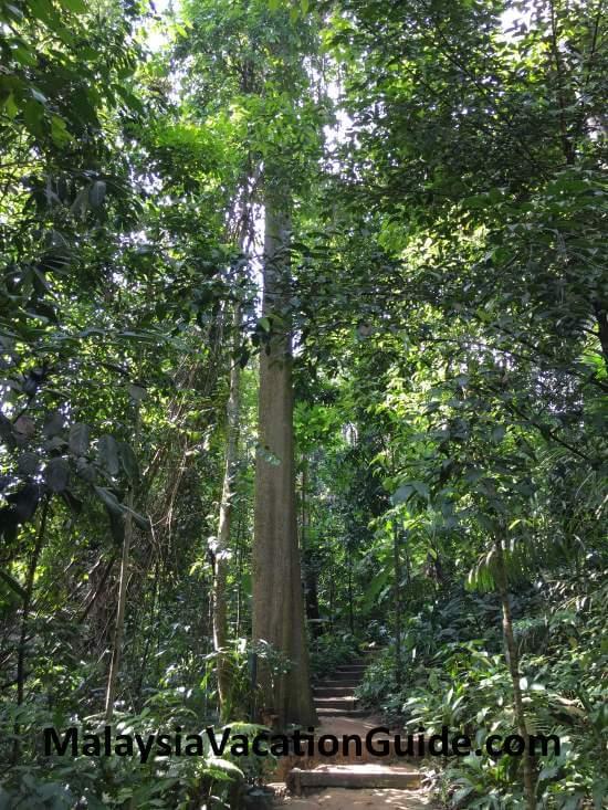 Taman Tugu Pulai Tree