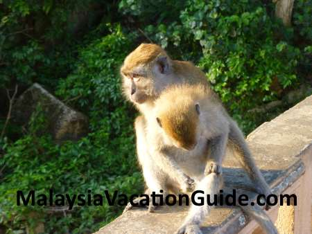 Monkeys at Teluk Chempedak