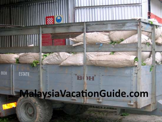 Tea leaves arriving at the factory in Cameron Highlands for processing.