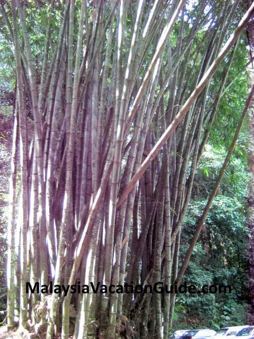 FRIM Bamboo Trees