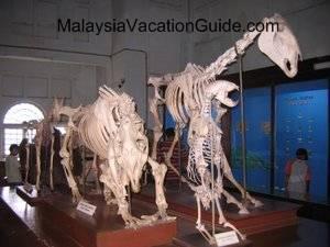 Perak Museum Skeletons