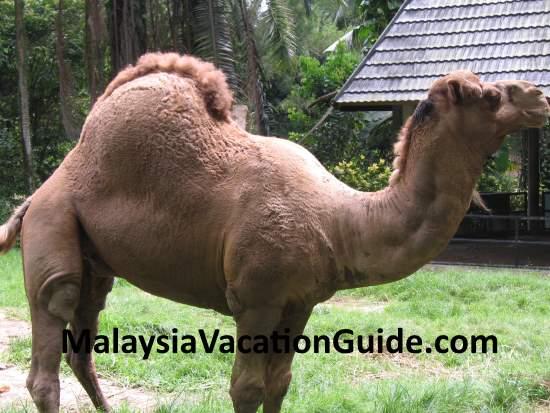 Camel at Zoo Negara