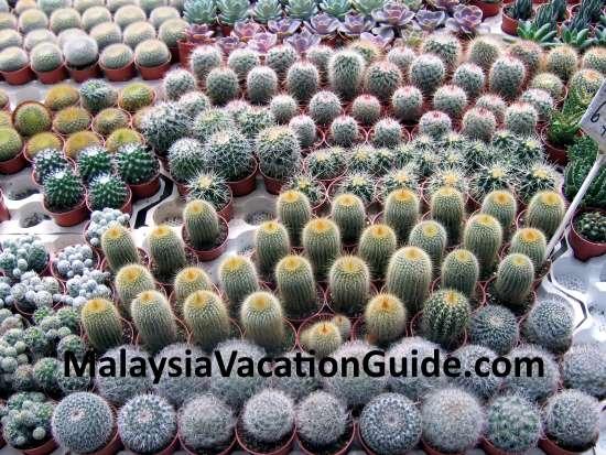 Cactus in abundance at Cameron Highlands