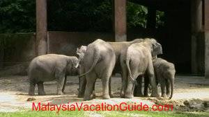 Taiping Zoo Elephants