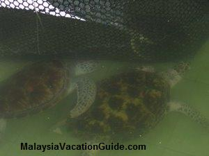 Hawksbill & Green Turtles