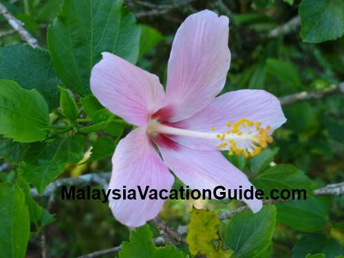 Hibiscus flower at Genting Highlands