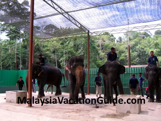 Getting ready the elephants for lunch at Kuala Gandah Elephant Sanctuary