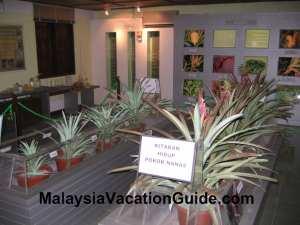 Johor Pineapple Museum Exhibits