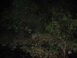 Berembang Tree