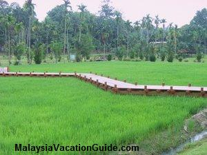 Shah Alam Malaysia  Agriculture Park Paddy Field