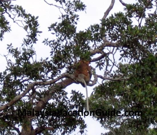 Notice the long tail of the Proboscis Monkey