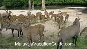 Taiping Zoo Deer