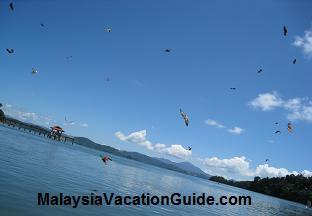 Feeding eagles at Pulau Singa Besar