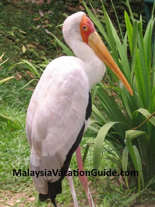 Stork at KL Bird Park