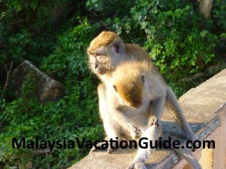 Monkeys at Teluk Chempedak