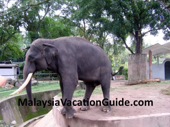Elephant at Zoo Negara
