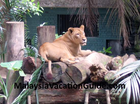 Lion at Zoo Negara