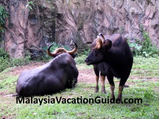 Seladang or Malayan Gaur at Zoo Negara