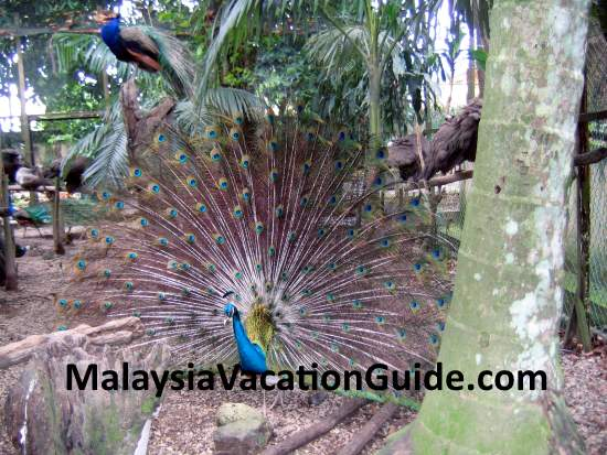 Zoo Negara Peacock